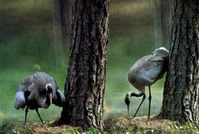 żurawie - Kadzidłowo - Park Dzikich Zwierząt